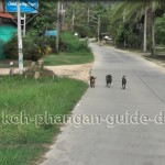 Hunde auf Koh Phangans Straßen